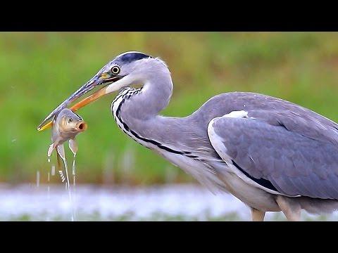Grey Heron / Цапля серая (2015)