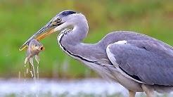 Grey Heron. The bird is fishing.