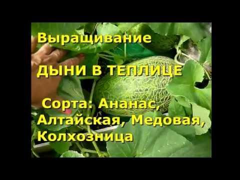 ДЫНИ В ТЕПЛИЦЕ. Сорт дыни Ананасная, Колхозница, Алтайская, Медовая.  Выращивание дынь в теплице.