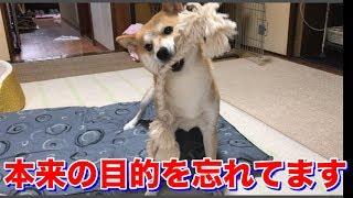 体を拭こうとしているのに、柴犬ハナはずっと遊んでると思っている件 -- Shbia plays.--
