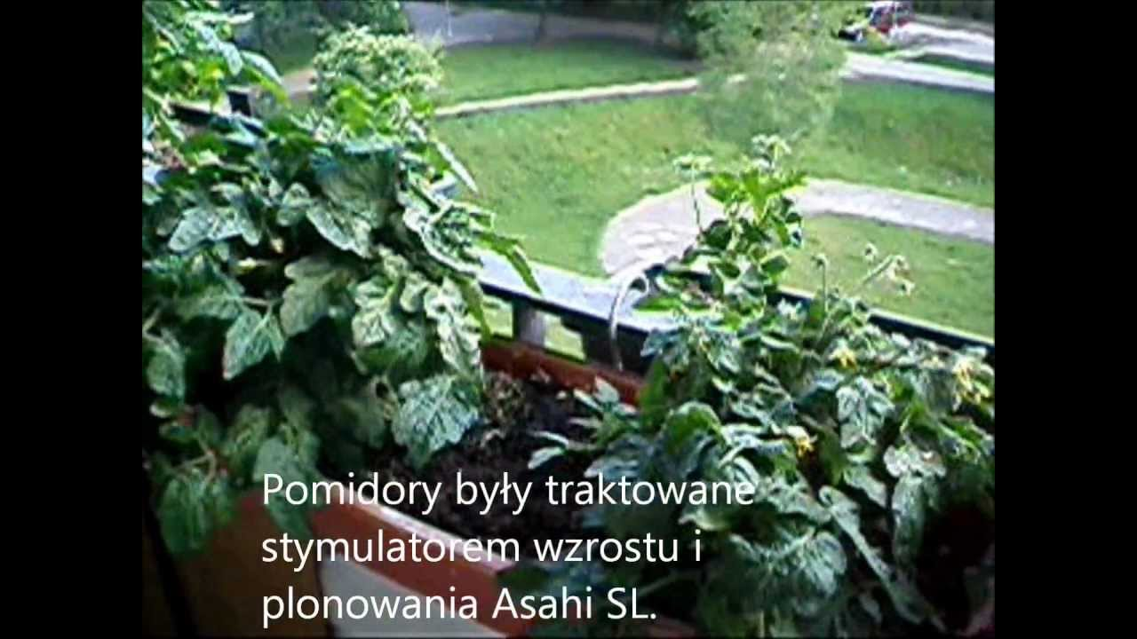 Pomidory Na Balkonie Black Cherry Vilma Ola Polka Zapraszam Również Na Część Drugą