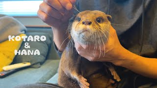 モフられるカワウソコタローに負けじと抱っこされにくるハナ Otter Hana is Jealous of Kotaro's Cuddle Time