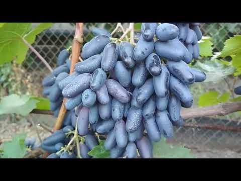 Виноград - Одесский сувенир .