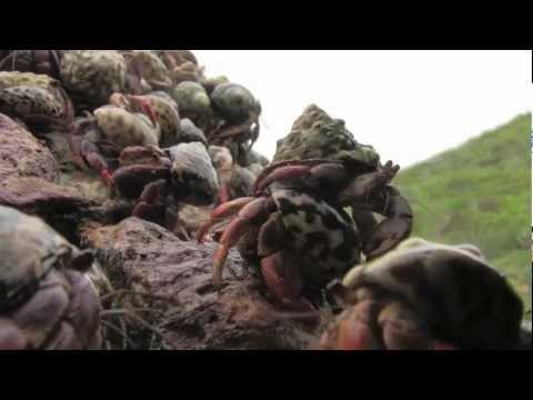 1,000,000's Of Hermit Crabs Migration (Soilder Crabs) @SugSean