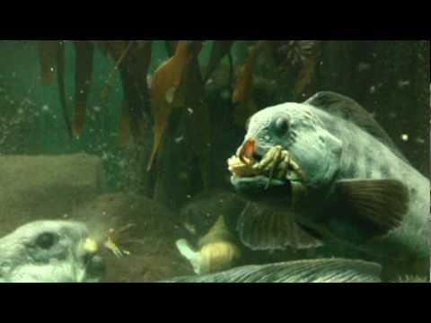 Barsch aquarium f tterung doovi for Zierfische barsch