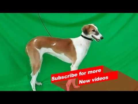 Wow ! Most Amazing Indian dog breeds | Mudhol Hound |