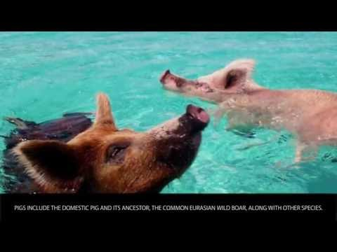 Pigs - Animals Category - Wiki Videos by Kinedio