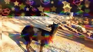 Kerapan kambing BAHADUR team MAMA WINDY pulau sapudi madura