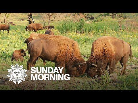 Nature: Bison in South Dakota