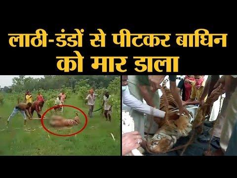 UP के Pilibhit Tiger Reserve में Tigress का Murder, एक गांव वाले की भी मौत