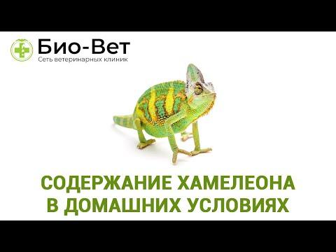 Чем кормить хамелеона в домашних условиях