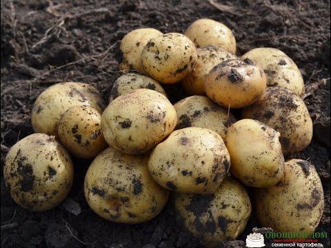 Сорта картофеля — Картофель Ривьера (Голландия)