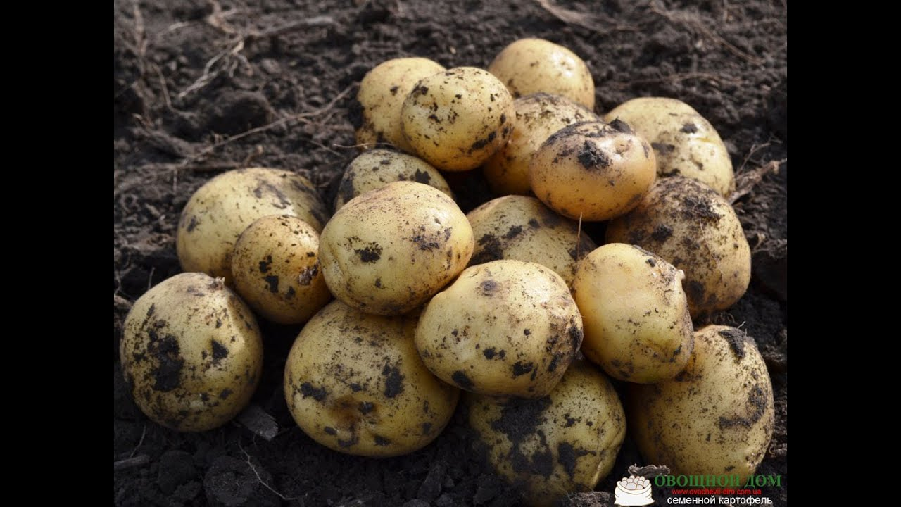 Картофель Хозяюшка - Семена и саженцы купить по лучшим ценам - YouTube