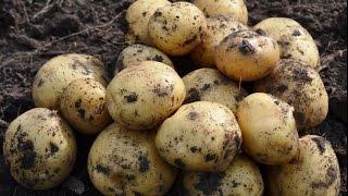 Сорта картофеля — Картофель Ривьера (Голландия)(, 2015-06-18T11:12:00.000Z)