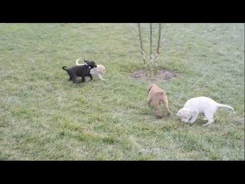 Black and Yellow Labrador Retriever Puppies For Sale