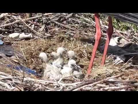 Резултат с изображение за Щъркели под Биг брадър наблюдение в Баничан