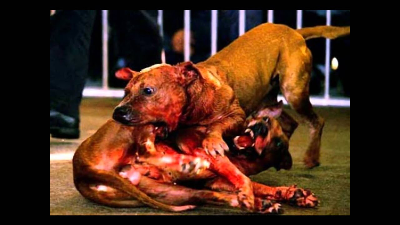 Pitbull Dog Fights