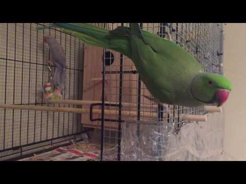 Talking Parrot Indian Ringneck Parakeet Rukhi