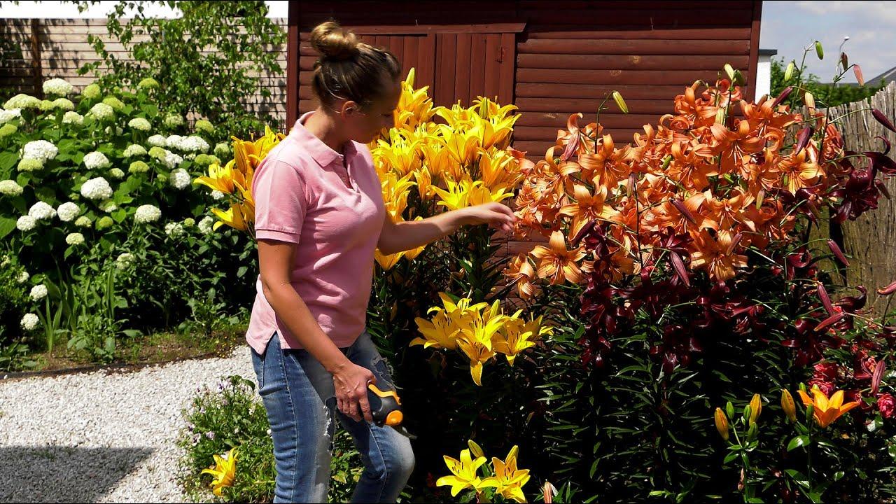 Ogród ozdobny - lilie, zaraza ogniowa i pielęgnacja trawnika.