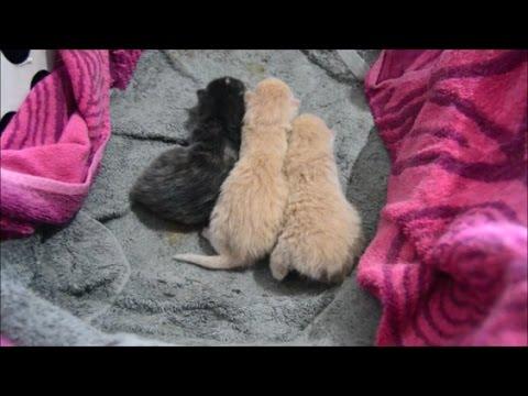 One week old manx kittens! (SOO CUTE!)