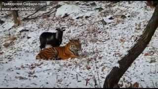 Необычная дружба тигра и козла в Сафари парке(Тигры Сафари-парка два раза в неделю едят живую добычу. Тигр Амур умеет охотится на коз и кроликов. Но недав..., 2015-11-27T06:32:53.000Z)