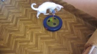 Питомник кошек корниш-рекс