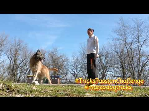 "Tricks passion challenge ""marzo dog tricks"" laekenois Deril e border collie Rysa"