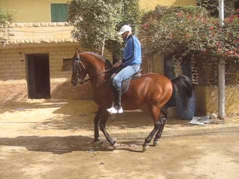 An essay on egyptian horses