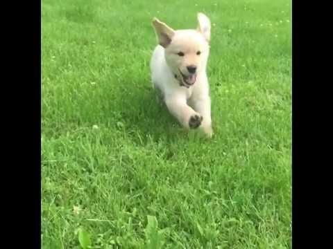 Golden Retriever Puppy Running Youtube