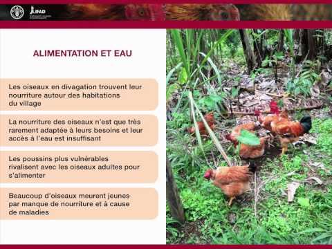 Nutrition et alimentation en aviculture familiale - Le système de divagation