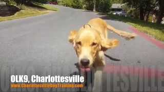 Distance Puppy Push-ups! | Golden Retriever | Charlottesville Dog Training