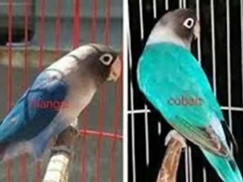 Perbedaan Warna Antara Lovebird Biru Mangsi Dan Lovebird Biru C
