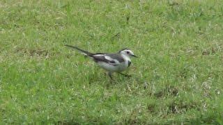 White Wagtail/นกอุ้มบาตร