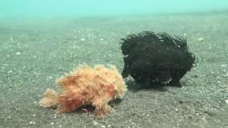 えっ、これ地上の生き物じゃなかったの?海底を連れ立って歩くカエルアンコウ