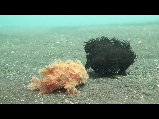 Two Hairy Frog-Fish Take a Walk