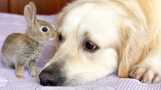 Cute Baby Bunnies think the Golden Retriever is their Mother part 2