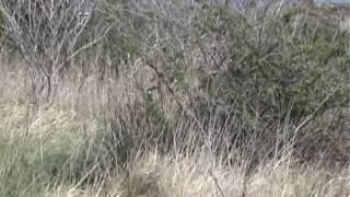Uguisu 鶯 - Japanese Bush Warbler