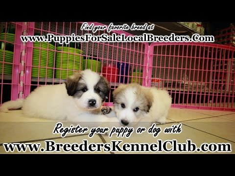 Great Pyrenees, Puppies For Sale, In Charlotte, North Carolina, NC, 19Breeders, Greensboro, Cary