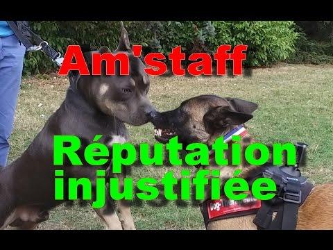Am'staff : le chien à la réputation injustifiée