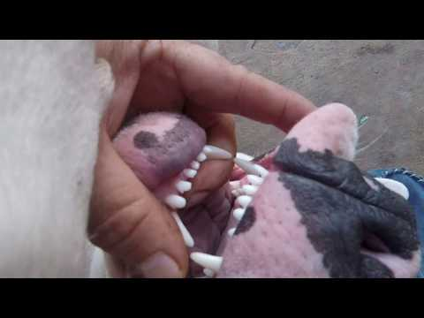 American Bulldog inside the mouth 2