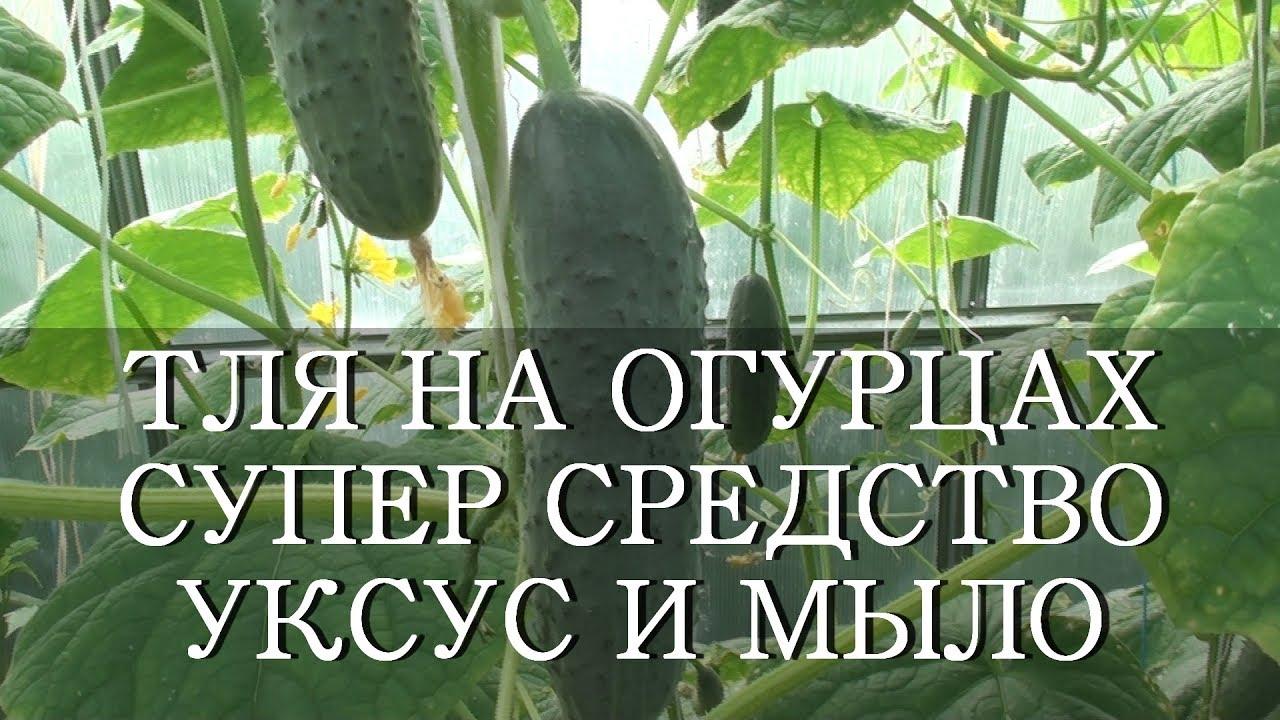 ТЛЯ НА ОГУРЦАХ СУПЕР СРЕДСТВО УКСУС И МЫЛО. - YouTube