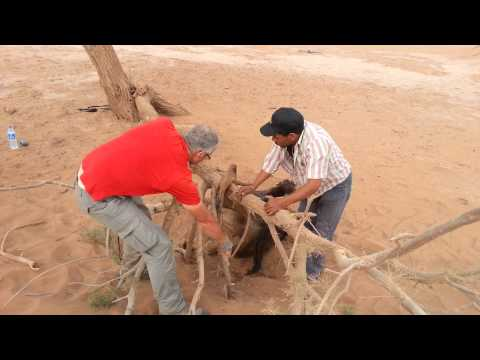 Camel rescue M'hamid, Morocco