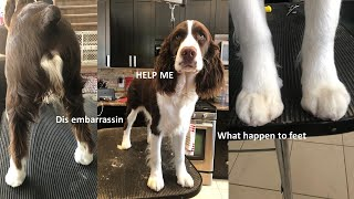 HOW TO GROOM YOUR PUPPY ENGLISH SPRINGER SPANIEL: PART 1  FEET, NAILS AND TAIL!