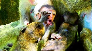 Why baby tear's mouth like this? Monkey very angry with baby , Monkey protect baby #1437