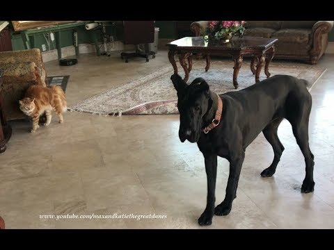 Funny Cat Chases Playful Great Dane