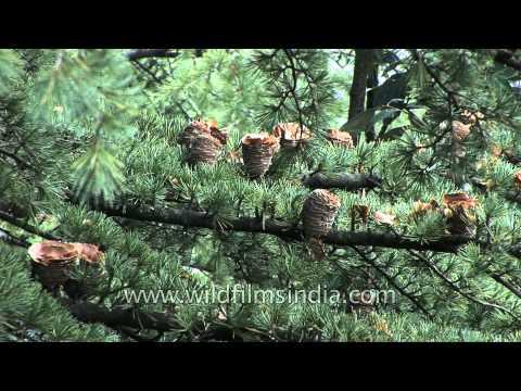 Deodar cones on a Himalayan Cedar tree