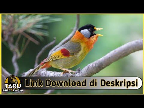 Suara Masteran Burung Pancawarna Youtube