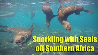 Snorkelling with Seals off Southern Africa