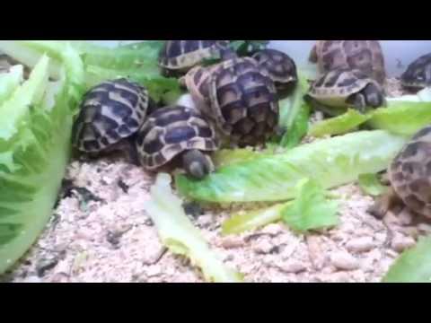 Greek And Golden Greek Tortoises