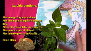 Como Germinar semillas de Chia (Salvia hispanica)